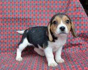 sociable,  cheerful and independent. Beagles