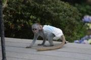 UDU Pairs Capuchin pygmy marmoset available 07031956739
